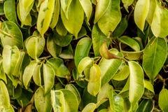 Το υπόβαθρο πράσινο βγάζει φύλλα την κινηματογράφηση σε πρώτο πλάνο Ελαφριές και φωτεινές φυσικές εγκαταστάσεις φύσης θερινής φύσ Στοκ Φωτογραφίες