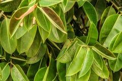 Το υπόβαθρο πράσινο βγάζει φύλλα την κινηματογράφηση σε πρώτο πλάνο Ελαφριές και φωτεινές φυσικές εγκαταστάσεις φύσης θερινής φύσ Στοκ φωτογραφία με δικαίωμα ελεύθερης χρήσης