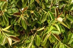 Το υπόβαθρο πράσινο βγάζει φύλλα την κινηματογράφηση σε πρώτο πλάνο Ελαφριές και φωτεινές φυσικές εγκαταστάσεις φύσης θερινής φύσ Στοκ Φωτογραφία