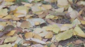 Το υπόβαθρο του φθινοπώρου αφήνει τα φύλλα φθινοπώρου σε ένα πάρκο στη γη, κίτρινα, πράσινα φύλλα στο πάρκο φθινοπώρου απόθεμα βίντεο