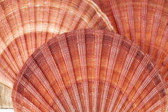Το υπόβαθρο των θαλασσινών κοχυλιών του μαλακίου, κλείνει επάνω Στοκ Φωτογραφίες
