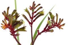 Το δυτικό αυστραλιανό κόκκινο και πράσινο λουλούδι καγκουρό Στοκ Εικόνα
