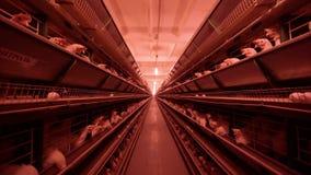Το φάρμα πουλερικών, κοτόπουλα κάθεται στα κλουβιά και τρώει τη μικτή τροφή, στις ζώνες μεταφορέων αυγά της κότας, κοτόπουλο απόθεμα βίντεο