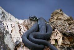 Το φίδι βρίσκεται σε ένα παλαιό πεσμένο δέντρο στοκ εικόνες με δικαίωμα ελεύθερης χρήσης