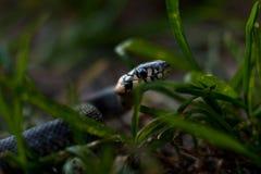 Το φίδι σέρνεται η χλόη στοκ εικόνα με δικαίωμα ελεύθερης χρήσης