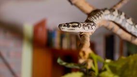 Το φίδι σέρνεται κατά μήκος του κλάδου στο σπίτι Ερπετά στο ρόλο της εσωτερικής έννοιας κατοικίδιων ζώων στοκ εικόνα