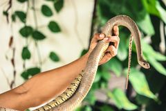 Φίδι σε ετοιμότητα στοκ φωτογραφίες με δικαίωμα ελεύθερης χρήσης