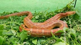 Το φίδι τρώει ένα ποντίκι απόθεμα βίντεο