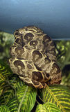 Το φίδι κήπων είναι ένας boa σφιγκτήρας Στοκ φωτογραφία με δικαίωμα ελεύθερης χρήσης