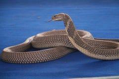 Το φίδι παρουσιάζει Στοκ Φωτογραφία