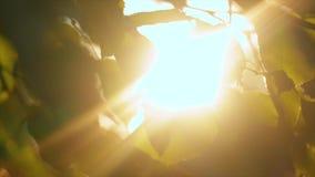 Το φίλτρο ακτίνων του ήλιου μέσω των φύλλων των δέντρων στο ηλιοβασίλεμα φιλμ μικρού μήκους