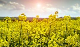 Το φανταστικό τοπίο, μεγαλοπρεπή όμορφα κίτρινα λουλούδια του canola κλείνει επάνω Στοκ φωτογραφίες με δικαίωμα ελεύθερης χρήσης