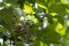 Το φεγγάρι της Apple οι προνύμφες τα φυλλώδη φύλλα και τα φρούτα μήλων με έναν πυκνό Ιστό και τα καταστρέφει Στοκ Εικόνες