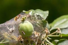 Το φεγγάρι της Apple οι προνύμφες τα φυλλώδη φύλλα και τα φρούτα μήλων με έναν πυκνό Ιστό και τα καταστρέφει Στοκ φωτογραφίες με δικαίωμα ελεύθερης χρήσης