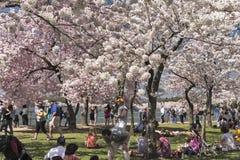 Το φεστιβάλ ανθών κερασιών στην Ουάσιγκτον, συνεχές ρεύμα Στοκ φωτογραφία με δικαίωμα ελεύθερης χρήσης