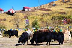 Το φθινοπωρινό τοπίο του οροπέδιου Qinghai - του Θιβέτ Στοκ Φωτογραφίες