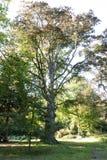 Το φθινόπωρο έρχεται και αυτό το παλαιό δέντρο ανοίγει το δρόμο στοκ εικόνες με δικαίωμα ελεύθερης χρήσης