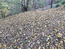 Το φθινόπωρο ήρθε και τα κίτρινα φύλλα του δέντρου μουριών έπεσαν κάτω στοκ φωτογραφία