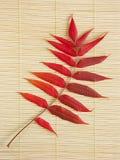 το φθινόπωρο ακακιών χρωματίζει το φύλλο Στοκ Φωτογραφία