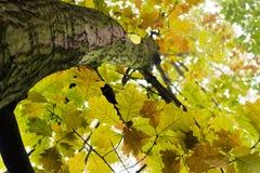 το φθινόπωρο ανατρέχει δρύ&io Στοκ Εικόνες