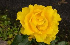 Το φθινόπωρο αυξήθηκε, Ιρλανδία Στοκ φωτογραφία με δικαίωμα ελεύθερης χρήσης