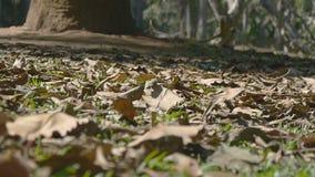 Το φθινόπωρο αφήνει ήπια να κινηθεί στο έδαφος κατά μήκος του αέρα φθινοπώρου τροπικό δασικό σε σε αργή κίνηση απόθεμα βίντεο