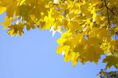 το φθινόπωρο αφήνει κίτριν&omic στοκ φωτογραφία με δικαίωμα ελεύθερης χρήσης