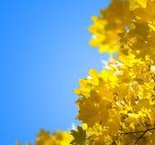 το φθινόπωρο αφήνει κίτριν&omic στοκ φωτογραφία