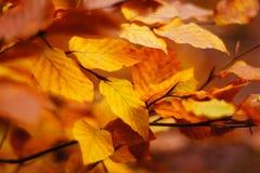 το φθινόπωρο αφήνει κίτριν&omic Στοκ Εικόνα