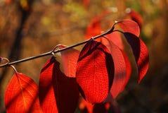 το φθινόπωρο αφήνει κόκκινος στοκ εικόνες