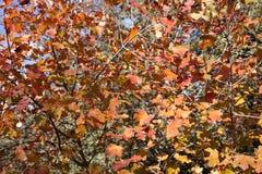 το φθινόπωρο αφήνει κόκκινος Στοκ Φωτογραφίες