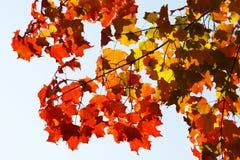 το φθινόπωρο αφήνει κόκκιν& Στοκ Φωτογραφίες
