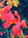 το φθινόπωρο αφήνει κόκκιν& στοκ φωτογραφία με δικαίωμα ελεύθερης χρήσης