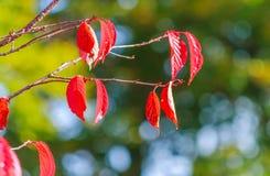 το φθινόπωρο αφήνει κόκκιν& Στοκ εικόνες με δικαίωμα ελεύθερης χρήσης