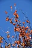 Το φθινόπωρο αφήνει το λαμπρό ουρανό Στοκ φωτογραφία με δικαίωμα ελεύθερης χρήσης