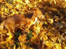 Το φθινόπωρο αφήνει το σκυλί Στοκ Φωτογραφίες
