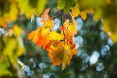 Το φθινόπωρο βγάζει φύλλα την ανασκόπηση Στοκ Φωτογραφία