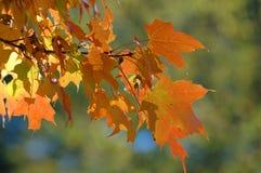 το φθινόπωρο βγάζει φύλλα Στοκ Εικόνα