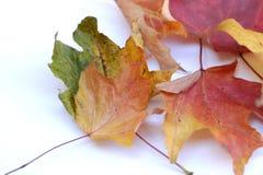 το φθινόπωρο βγάζει φύλλα Στοκ εικόνες με δικαίωμα ελεύθερης χρήσης
