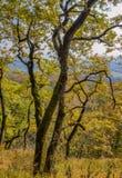 το φθινόπωρο κάλυψε τα πεσμένα δασικά φύλλα επίγειων τοπίων κίτρινα Παλαιό δρύινο δέντρο με το κίτρινο φύλλωμα πτώσης Στοκ Φωτογραφίες