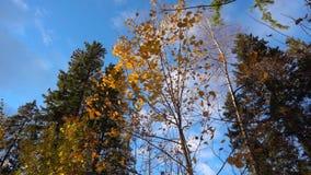 Το φθινόπωρο κιτρίνισε την πτώση φύλλων από ένα δέντρο στον ηλιόλουστο καιρό, σε αργή κίνηση απόθεμα βίντεο