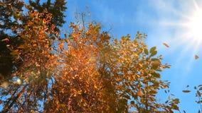 Το φθινόπωρο κιτρίνισε την πτώση φύλλων από ένα δέντρο στον ηλιόλουστο καιρό, σε αργή κίνηση φιλμ μικρού μήκους
