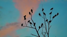 Το φθινόπωρο κοπαδιών των πουλιών λαλά το μπλε ουρανό που απογειώνεται από ένα δέντρο ένα κοπάδι κοράκων του μαύρου δέντρου τρόπο απόθεμα βίντεο
