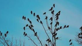 Το φθινόπωρο κοπαδιών των πουλιών λαλά το μπλε ουρανό που απογειώνεται από ένα δέντρο ένα κοπάδι ξηρού δέντρου πουλιών κοράκων το φιλμ μικρού μήκους