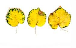 Το φθινόπωρο τρία κίτρινο βγάζει φύλλα στο λευκό Στοκ εικόνα με δικαίωμα ελεύθερης χρήσης