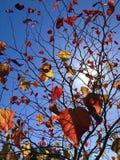 Το φθινόπωρο χρωμάτισε τα φύλλα με το μπλε ουρανό Στοκ φωτογραφία με δικαίωμα ελεύθερης χρήσης