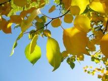 Το φθινόπωρο χρωμάτισε τα φύλλα στον κλάδο Στοκ Εικόνες