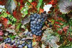 Το φθινόπωρο χρωματίζει - σταφύλια κόκκινου κρασιού στους αμμώδεις αμπελώνες, Camargue, δημόσιες σχέσεις Στοκ εικόνες με δικαίωμα ελεύθερης χρήσης