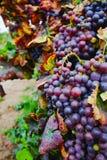 Το φθινόπωρο χρωματίζει - σταφύλια κόκκινου κρασιού στους αμμώδεις αμπελώνες, Camargue, δημόσιες σχέσεις Στοκ Φωτογραφία