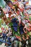 Το φθινόπωρο χρωματίζει - σταφύλια κόκκινου κρασιού στους αμμώδεις αμπελώνες, Camargue, δημόσιες σχέσεις Στοκ εικόνα με δικαίωμα ελεύθερης χρήσης